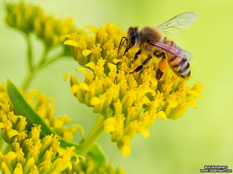 !!!!bee on flaveria linearis