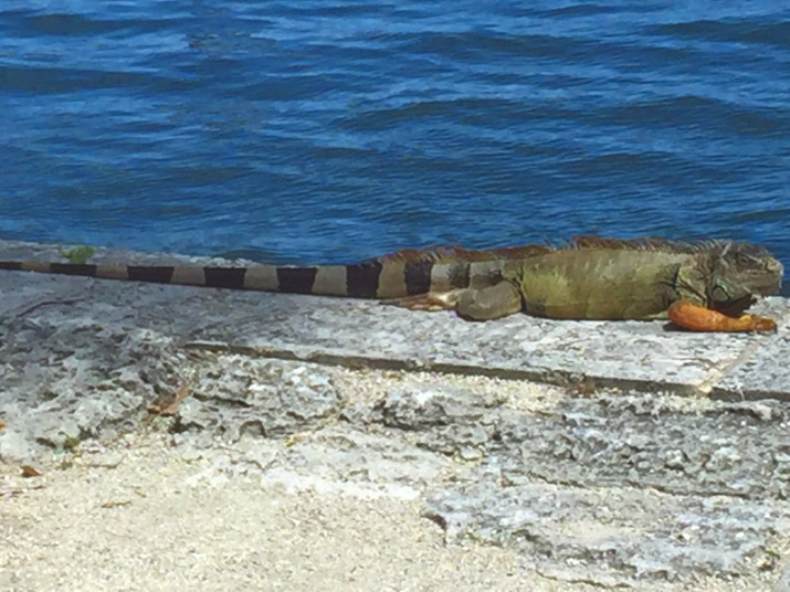 !!!!iguana-at-vizcaya1