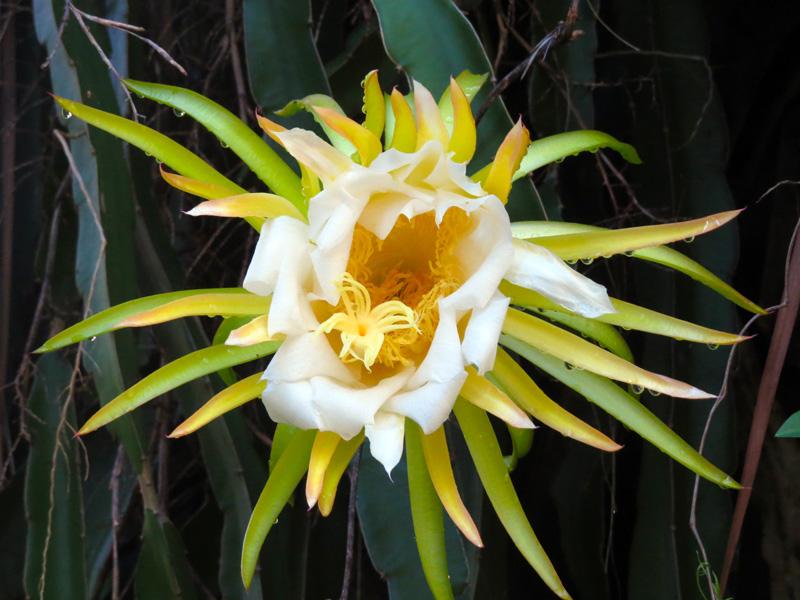 !!!!night-blooming-cereus