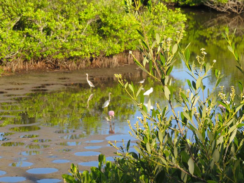!!!!avicennia-w-wading-birds