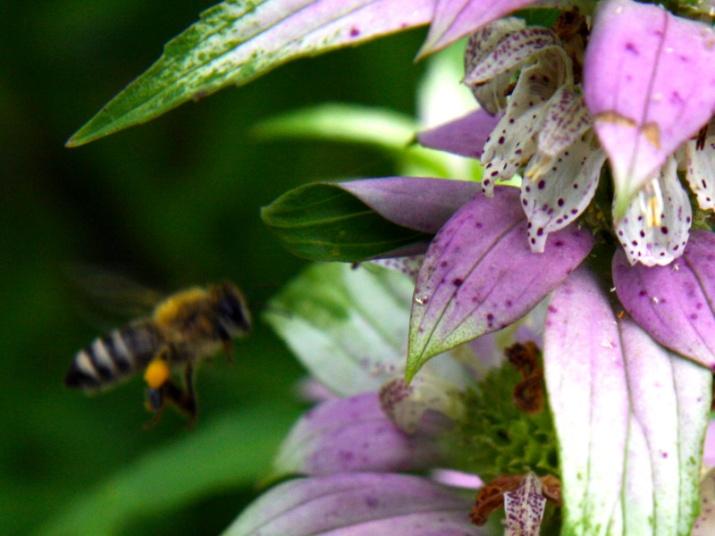 !!!!honeybee-on-onarda