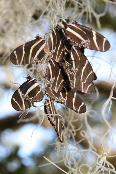 !fw--zebra-longwing-roostin