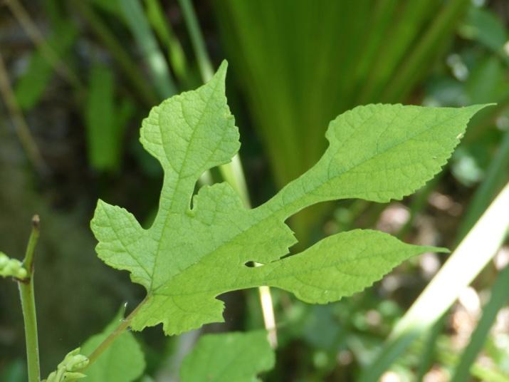 !!morus-rubra---juvenile-leaf