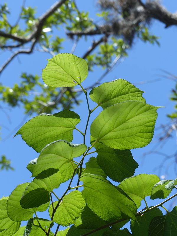 !!morus-rubra-leaves
