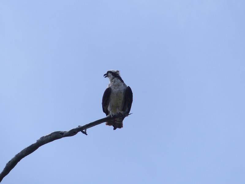 !!osprey-at-bw