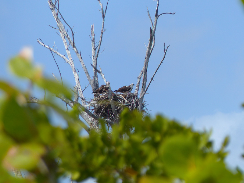 !!ospreys2