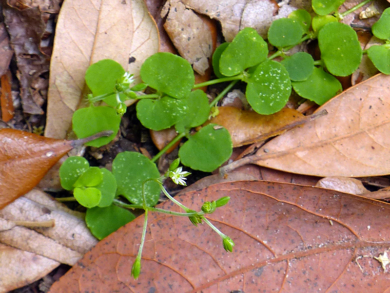 Common Chickweed Control