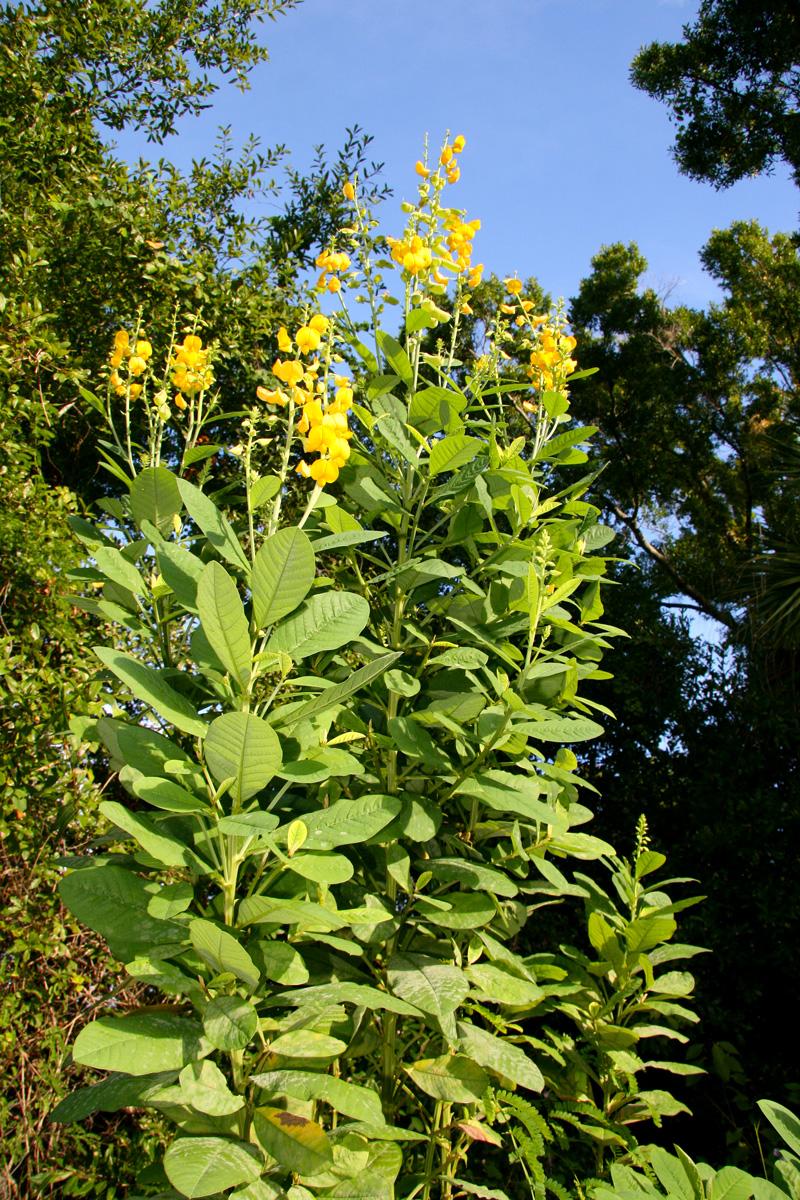 Hoa nở mùa Thu Crotalaria-spectablis-2