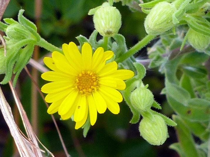 !!chrysopsis-scabrella-closeup