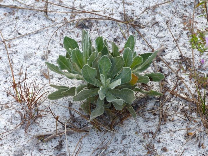 !!chrysopsis-scabrella-rosette