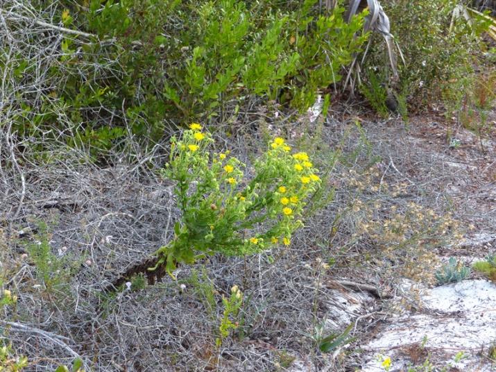 !!chrysopsis-scabrella